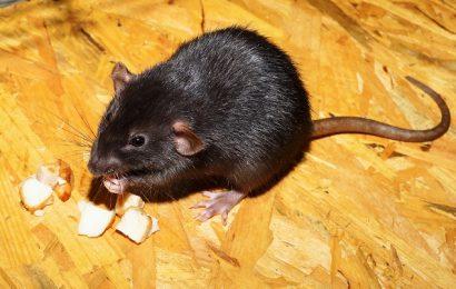 Danskerne frygter mest besøg af rotter